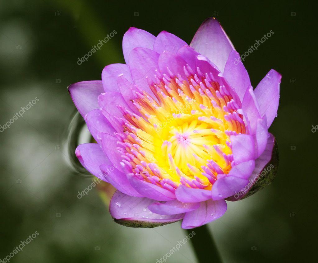Lotus Blossom Stock Photo Sydeen 3207903