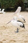 Dva pelikáni v písku