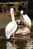Pelikán pták