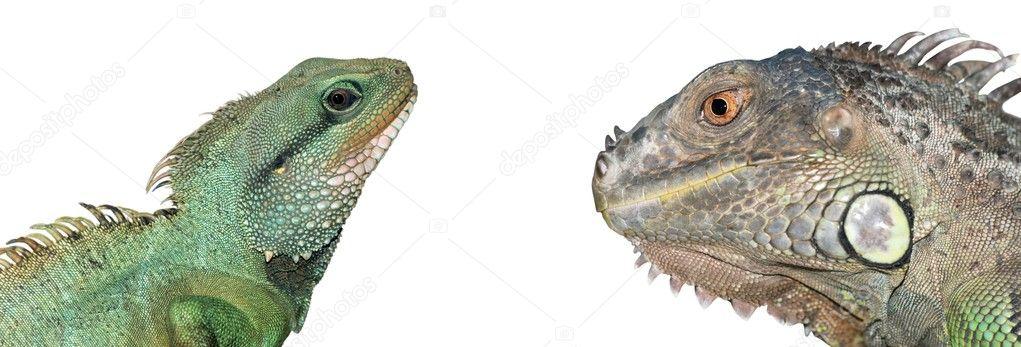 Reptile animal lizard head