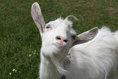 Photo Happy goat
