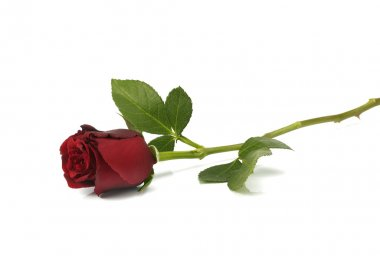 Single red Rose lying down