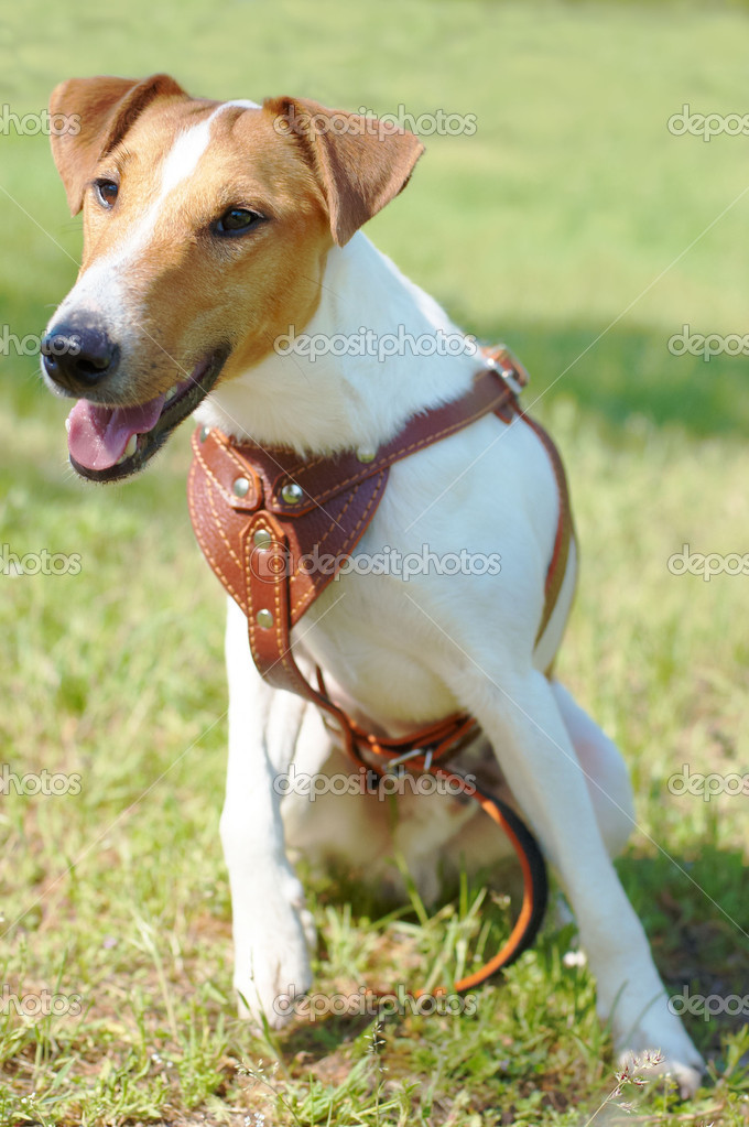 Fox Terrier (Smooth). Funny dog looking at camera.
