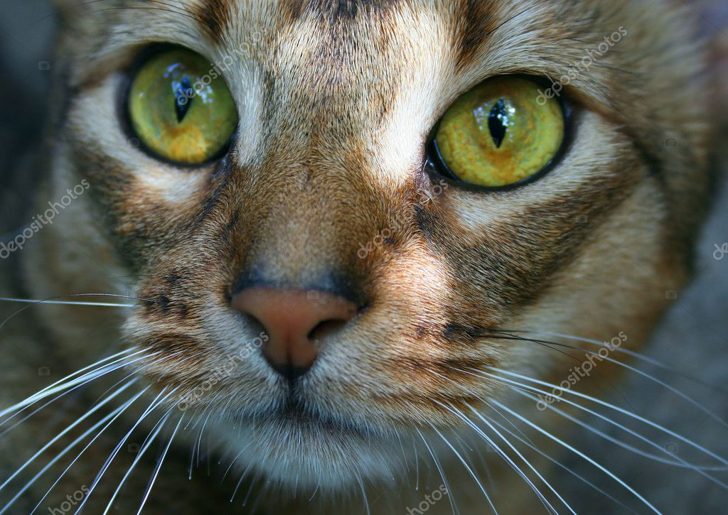 Abyssinian Cat Face