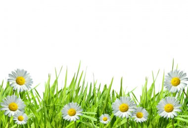 Grass with daisies against a white