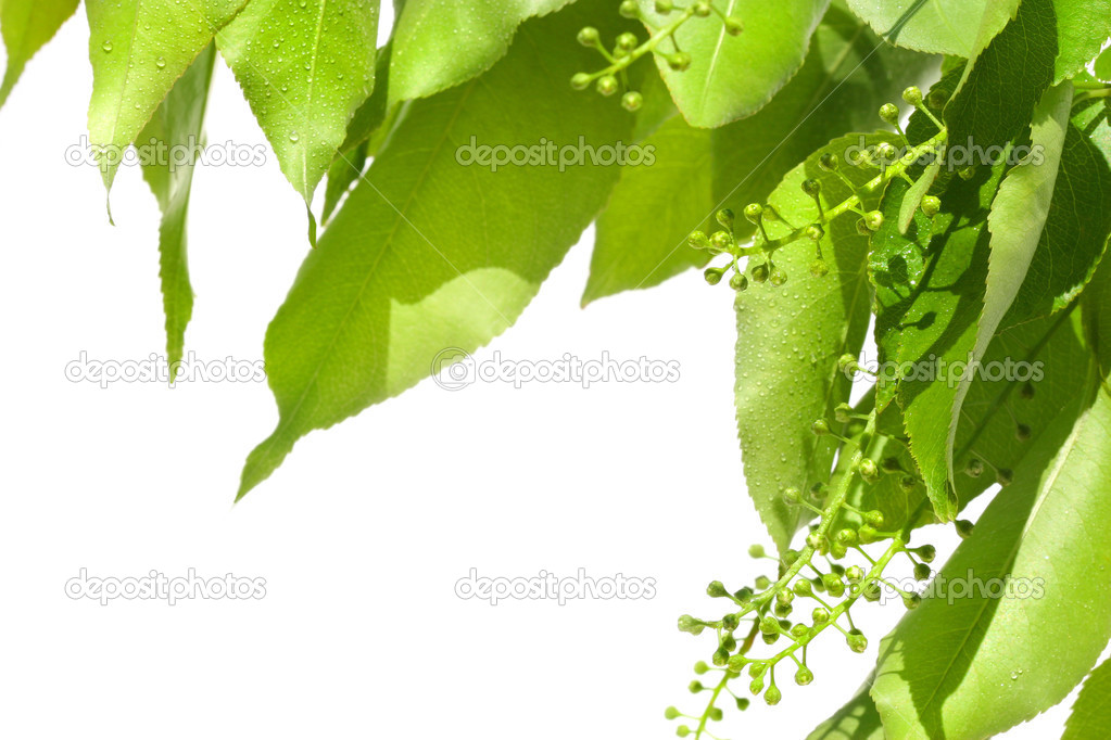 Summer green leaves isolated on white