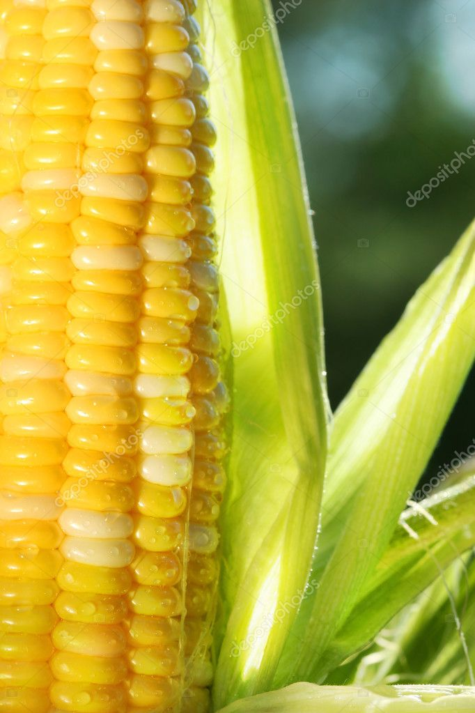 Close-up of corn an ear of corn