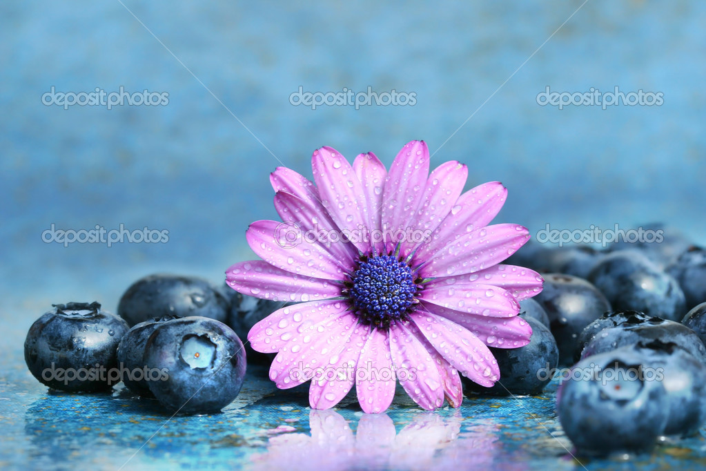 Pink daisy with blueberries