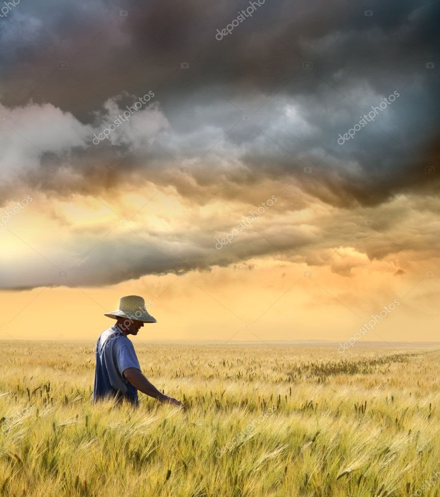 Farmer checking his crop of wheat