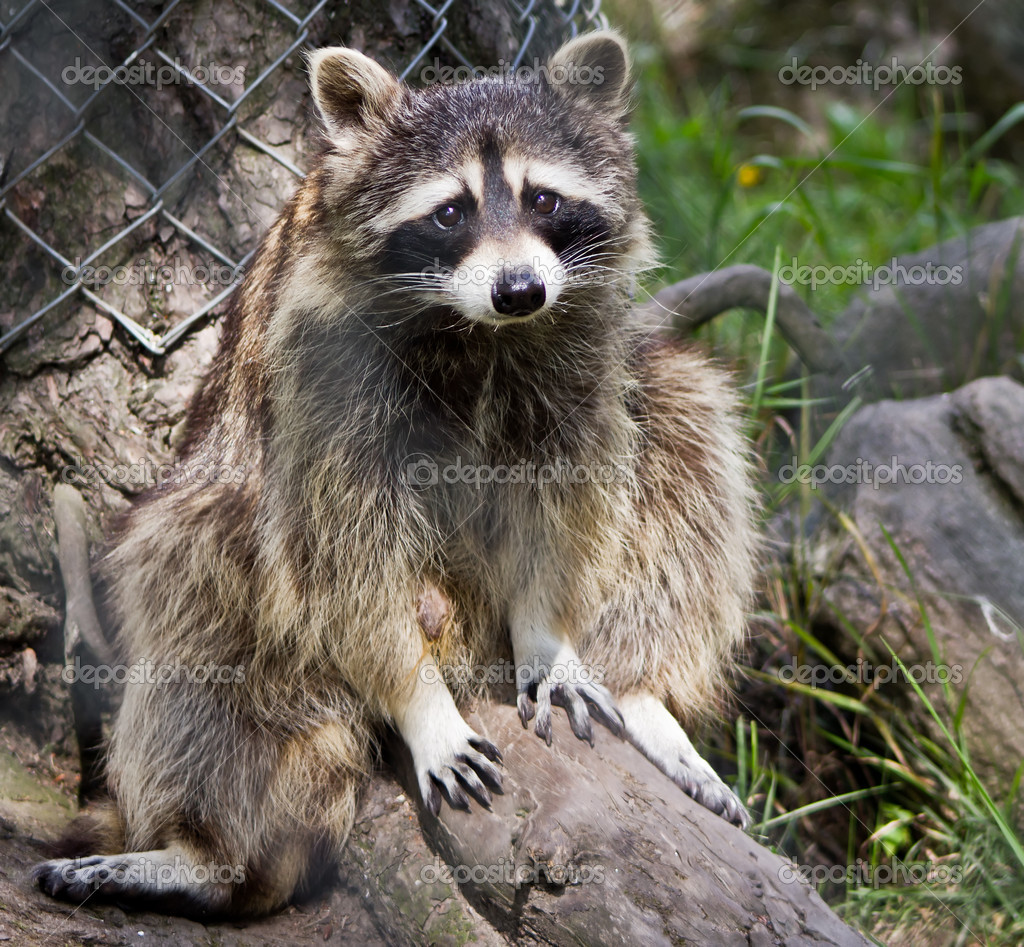 Guilty Raccoon