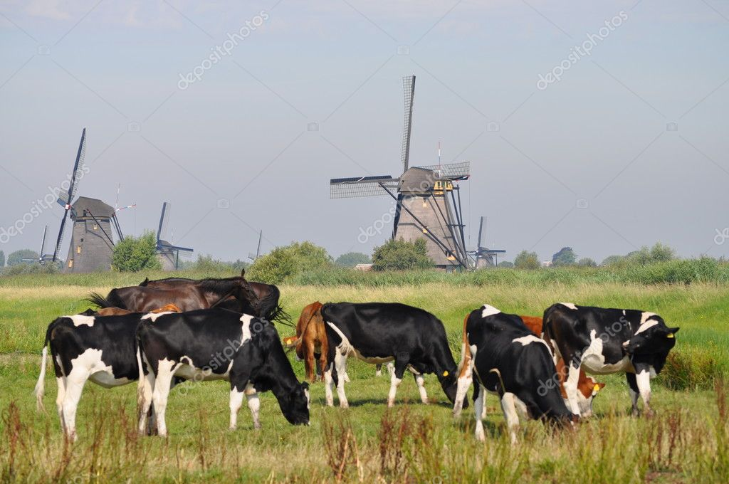Cows grazing near a mill