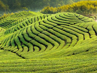 Ba Gua Tea garden in mid of Taiwan