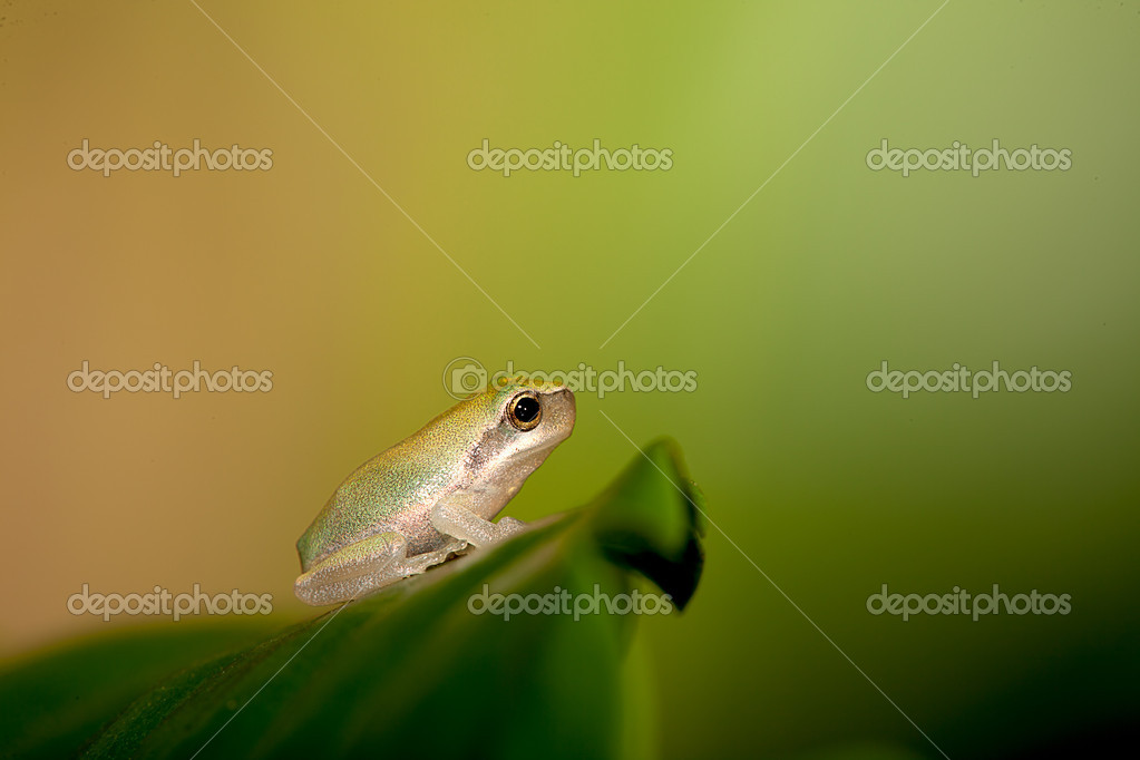 Baby Tree frog on the leaf (Hyla chinensis)