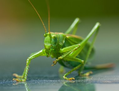 Portrait of a green grasshopper, which cleans paws
