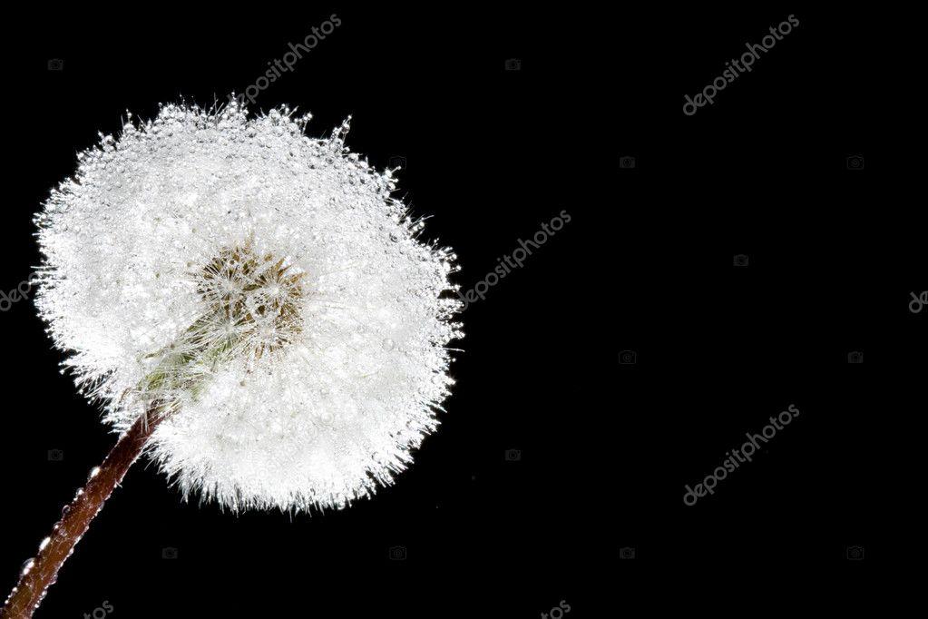 Fluffy macro dandelion on black