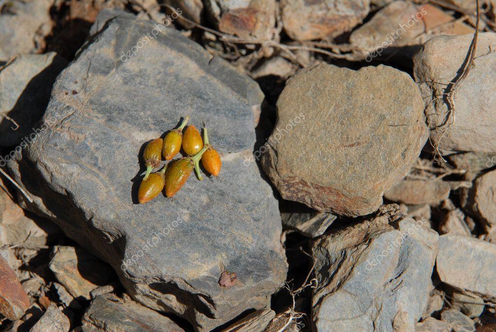 Coca seeds