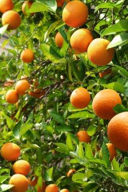Orange trees with ripe oranges