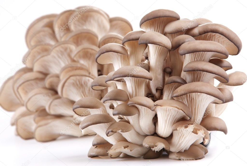 Oyster mushrooms on a white background