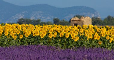 Lavender and sunflower setting in Provence, France