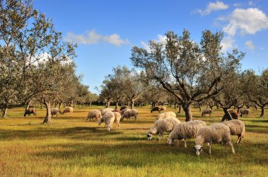 Rural picture of a flock of sheep in an olive tree field. Picture taken in Kalamata, Greece stock vector