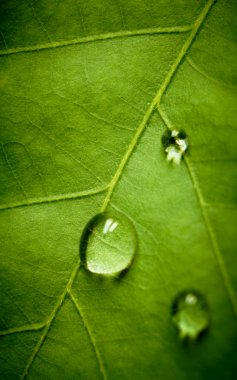 Oak leaf and drop, shallow dof