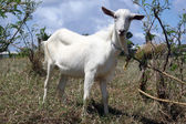 fehér kecske