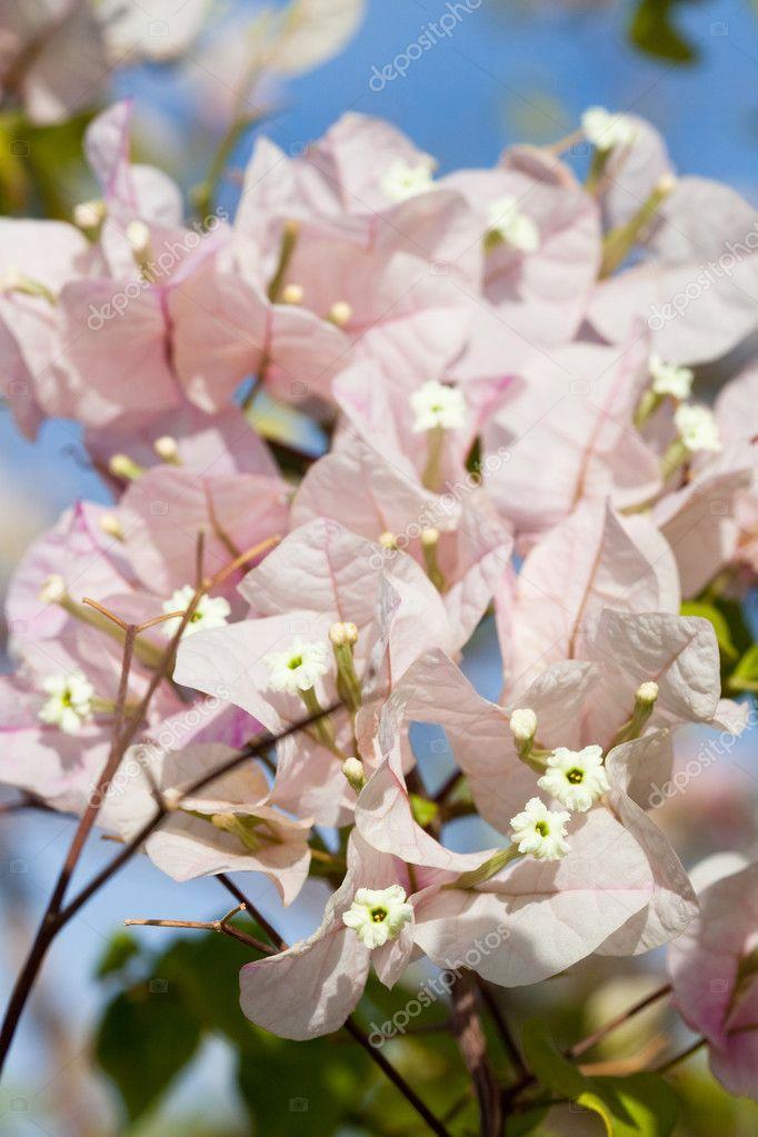 Pianta bouganville foto stock birute 3591785 for Bouganville fioritura