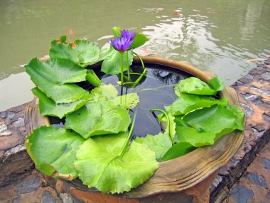 Small pond with small fishes and water exotic flowers
