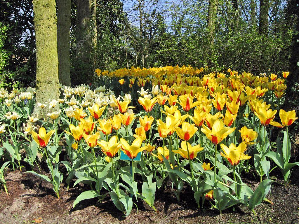 Haarlem holanda tulipanes flores en un jard n bot nico foto de stock belayamedvedica 4850919 - Jardines de tulipanes en holanda ...