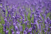 Flowers of lavender and flying bees