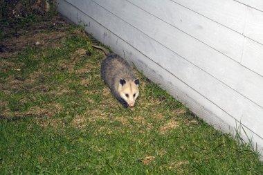 Opossum seen nighttime