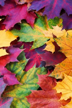 Autumnal background from maple leaves