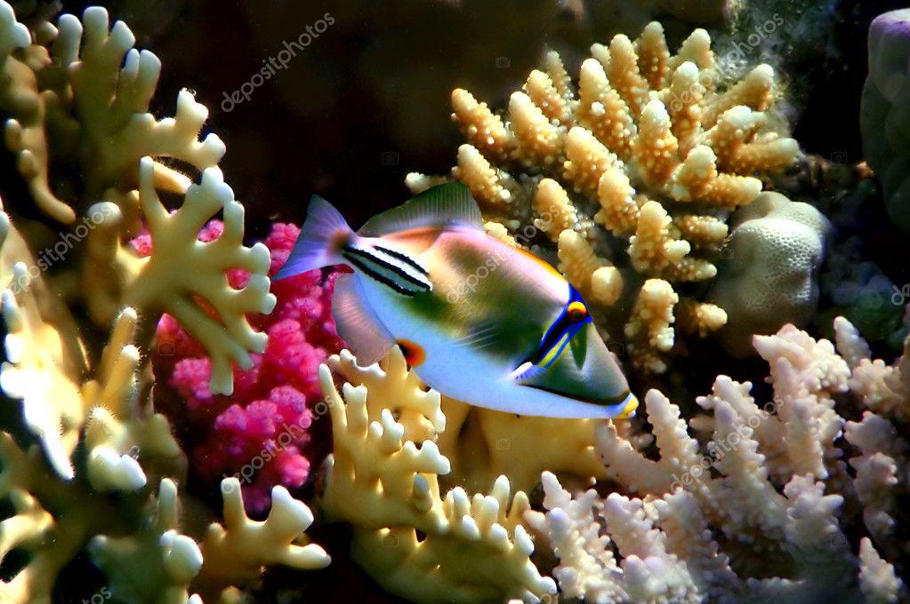 Coral fish Rhinecanthus assasi