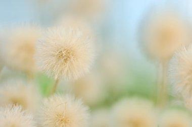 Pastel dandelions