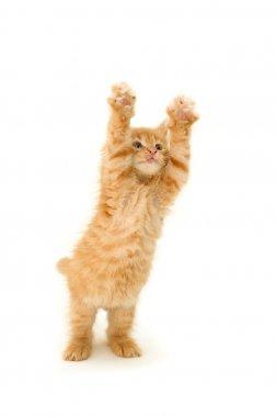 Funny red kitten
