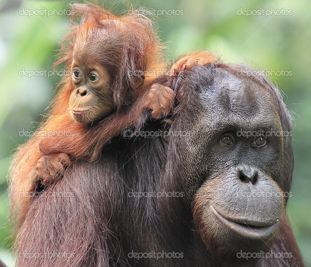 Orangutan mother and son