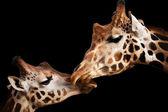 Fotografia momento tenero con giraffe