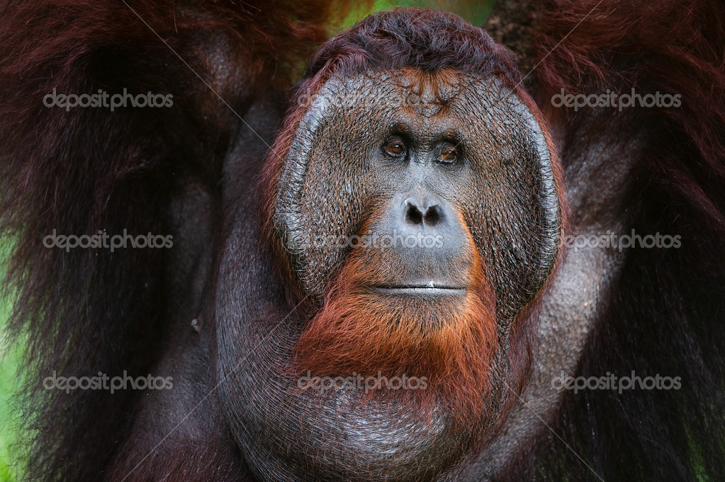 Portrait of Orangutan.