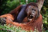 Photo Yawning Orangutan