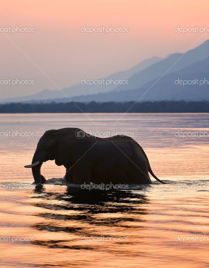 Elephant on the river Zambezi.