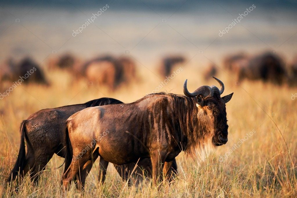 Black Wildebeest.