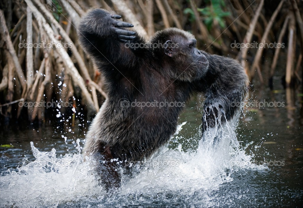 Chimpanzee in water