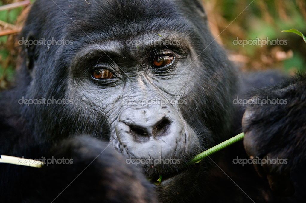 The gorilla eating.