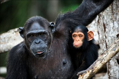 Chimpanzee with a cub on mangrove branches.