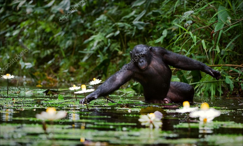 The chimpanzee collects flowers.