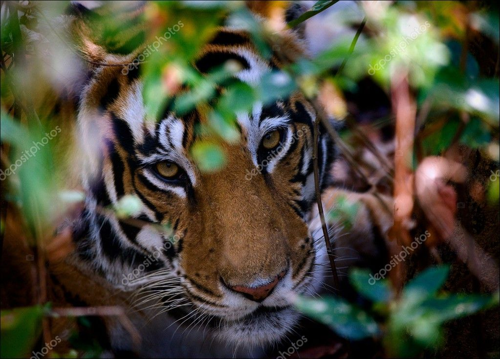 Portrait of a tiger in bushes.