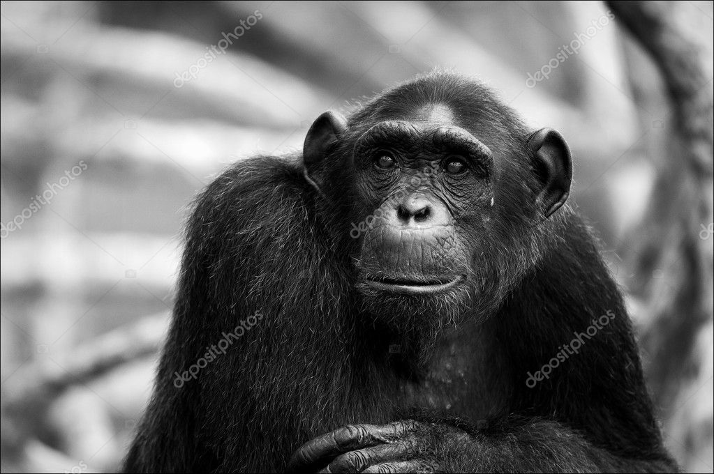 Black and white portrait Chimpanzee.