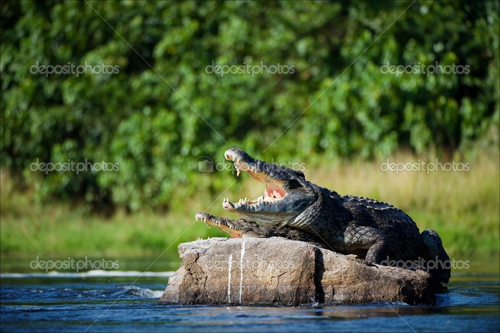 Nile crocodile.