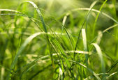 Fresh green grass with dew drops. Morning summer scene