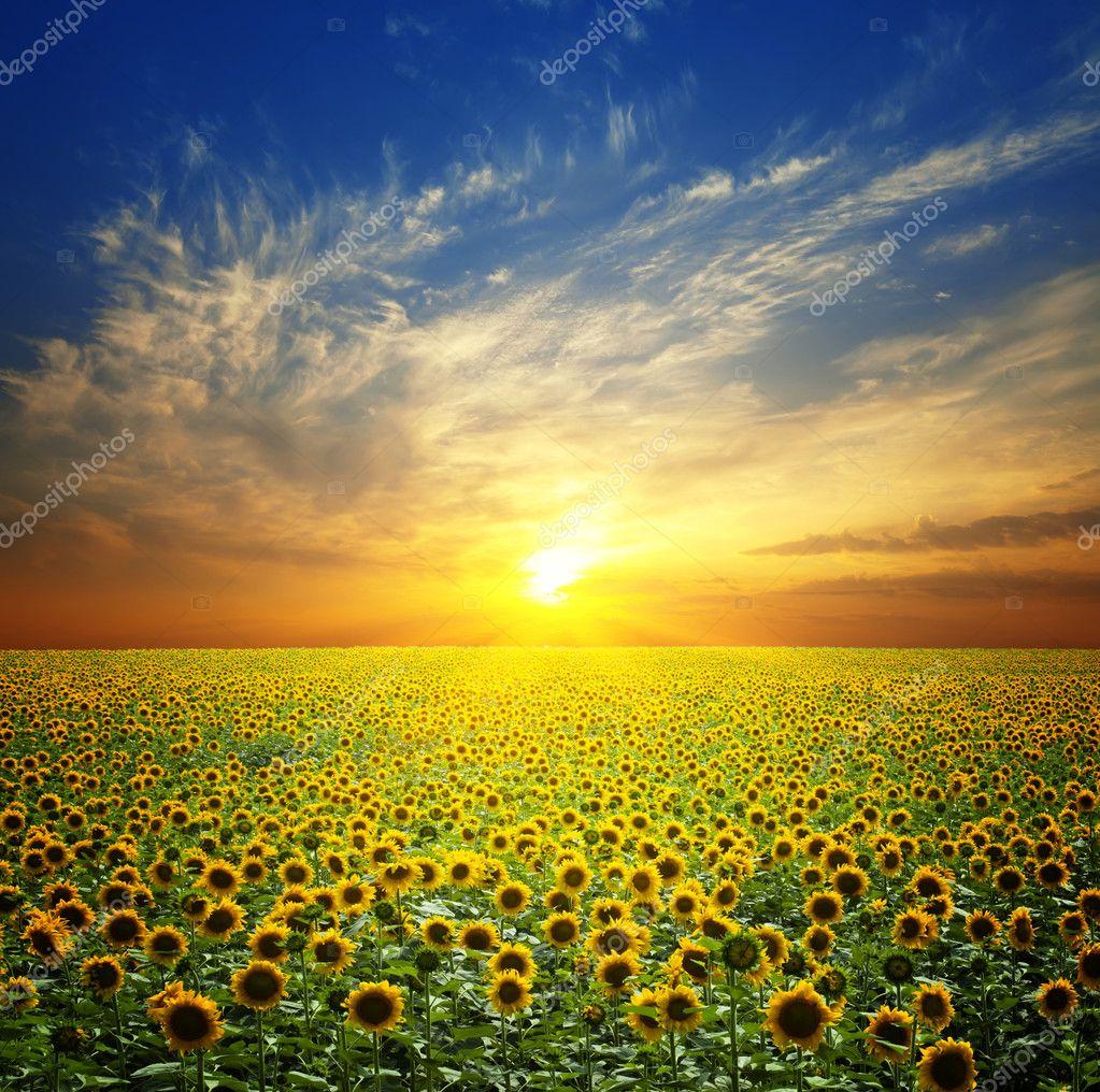 Фотообои Summer landscape: beauty sunset over sunflowers field